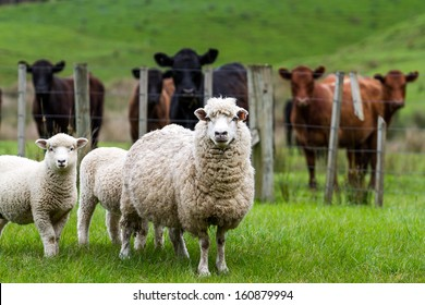 New Zealand live stock, sheep and cattle on a farm