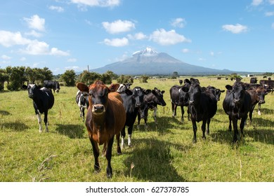 New Zealand Mount Taranaki, curious looking cow 's with a volcano in the background