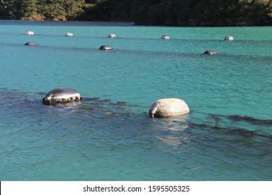 New Zealand mussel farm in Blue water
