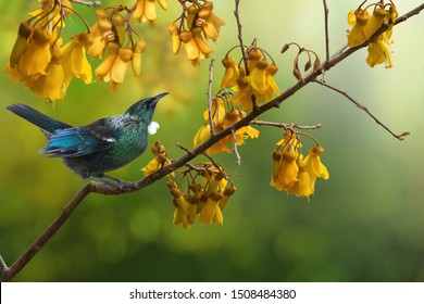 New Zealand native bird Tui is sitting on the branch of kowhai tree