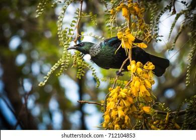 New Zealand native honeyeater bird the Tui (Prosthemadera novaeseelandiae), in a golden yellow flowering native kowhai tree.