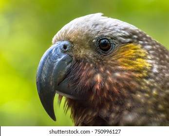 New Zealand native Kaka parrot (Nestor meridionalis) in rain forest of Kapiti island