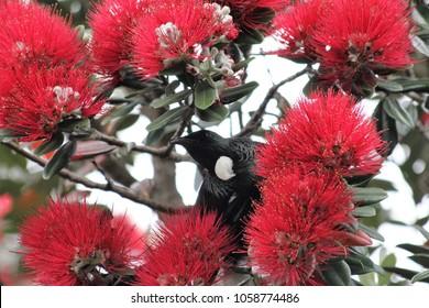 New Zealand Native Tui Bird Foraging in Pohutukawa tree