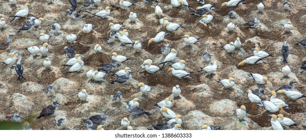 New Zealand. North Island. Colony of Australasian gannet (Morus serrator) nesting on the cliffs of Muriwai Beach