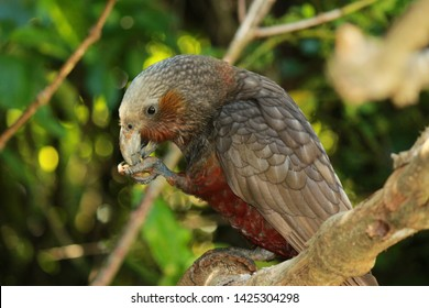 New Zealand North Island Kaka