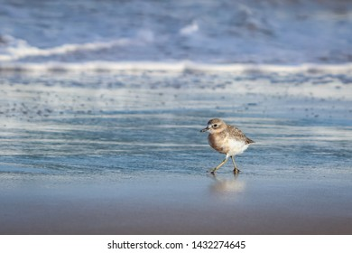 New Zealand Northern Dotterel seabird Tuturiwhatu Pukunui in its natural habitat at river mouth junction with white sandy ocean beach Pouawa marine reserve, Gisborne, NZ