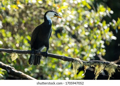New Zealand Pied Shag (Phalacrocorax varius ssp. varius) perched on a bare branch, tree foliage blurred in background. Photographed in Tauranga, North Island, New Zealand, in Summer.