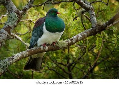 New Zealand pigeon - Hemiphaga novaeseelandiae - kereru sitting and feeding in the tree in New Zealand. Green endemic pigeon.