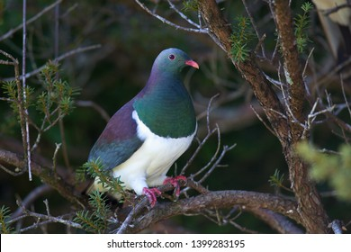 The New Zealand pigeon or Kereru (Hemiphaga novaeseelandiae) is endemic and native bird species on New Zealand. They do not live anywhere else in the world