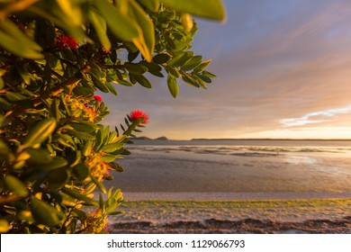 New Zealand pohutakawa tree at sunrise with red flower