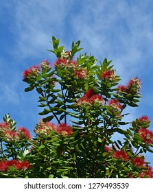 New Zealand Pohutukawa tree in full mid-Summer bloom. Also known as the NZ Christmas tree because it come into flower on Christmas Day.