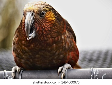 New Zealand precious parrot Kaka sitting on a cage