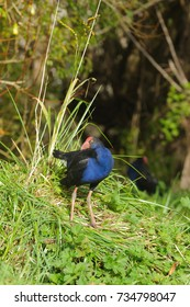 New Zealand Pukeko, a native bird in the wild