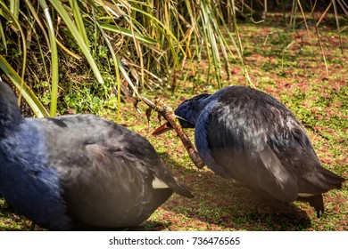 New Zealand Pukeko Swamp Hens Feeding