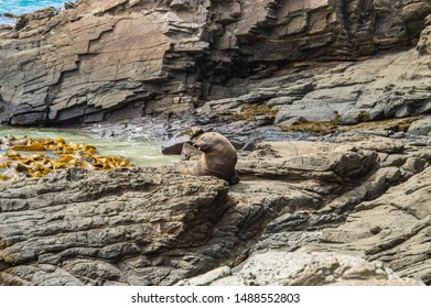 New Zealand Sea Lion Pup Sunning on the rocks in Cannibal Bay