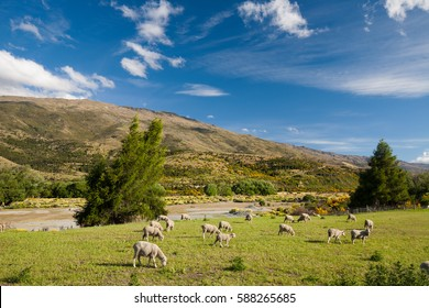 New Zealand sheep eating grass
