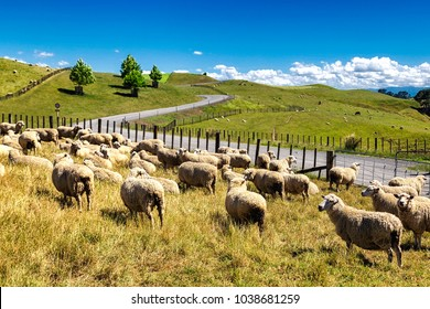 New Zealand sheep flock grazing in the beautiful green hill of North Island