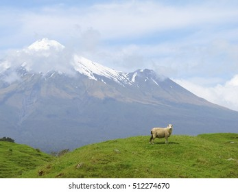 New Zealand - Sheep and Mount Tanaki