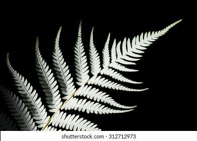 New Zealand silver fern (Cyathea dealbata)