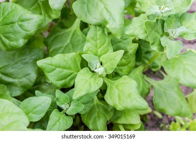 New Zealand Spinach in a garden / spinach / leafy vegetables