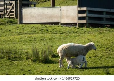 New Zealand spring lambing season 2019, new born lambs with ewes on a coastal farm near Gisborne, East Coast, North Island