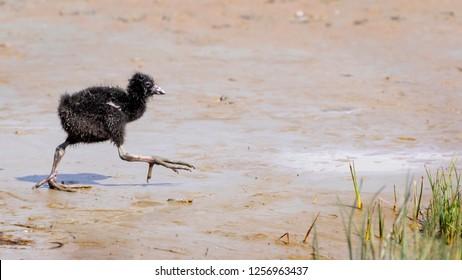 New Zealand swamp hen pukeko chick
