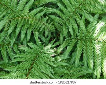 New Zealand Tree Fern, Dicksonia squarrosa