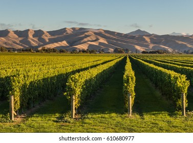 New Zealand vineyards at sunset with copy space