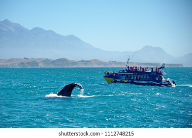 New Zealand. Whale watching in the Kaikoura area