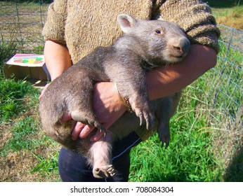 New zealand wombat