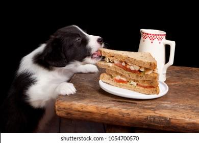 Newborn 5 weeks old border collie puppy steeling a sandwich