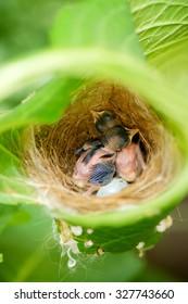 Newborn baby birds in nest