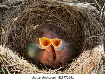 Newborn baby blackbirds in nest between the branches.