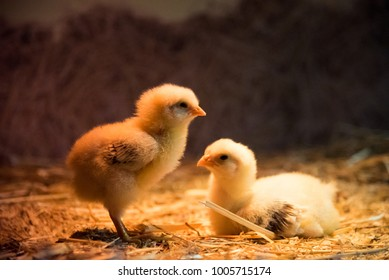 Newborn baby chicks. The chicks are just a couple of days old.