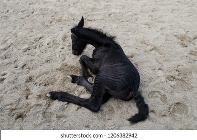 Newborn baby Friesian horse colt foal filly laying down in a paddock