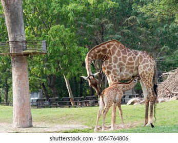 Newborn or baby giraffe drinks milk while mom cuddles her calf in a zoo show love and motherhood over green leave background