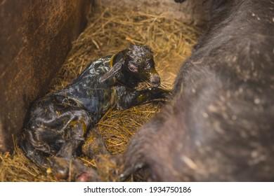 Die neugeborene Ziege liegt nur wenige Sekunden nach ihrer Geburt im Heu. Junge kleine und süße Ziege, noch bedeckt in der Mütterflüssigkeit, die von Mutterziegen genährt wird.