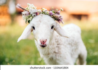 Newborn baby lamb outdoors with a flower crown. Animal love concept.