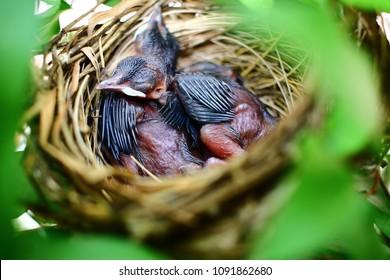 Newborn Bird Babies In Robin Nest - Closeup look inside of a robin's bird nest with 2 newborn baby birds sleeping peacefully, THAILAND robin wildlife stock photo.