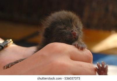 newborn black kitten, blind, in the women's hands