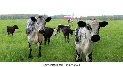 Newborn black and white speckled calf with lookalike mom in the field with the rest of the herd