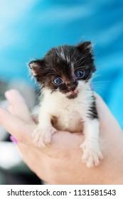 newborn black and white sweet kitten in hands