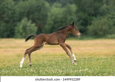 The newborn brown foal of 4 days old runs gallop across the field in summer day
