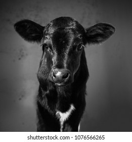 Newborn calf black and white
