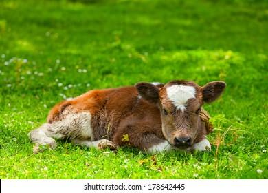 newborn calf on foliage