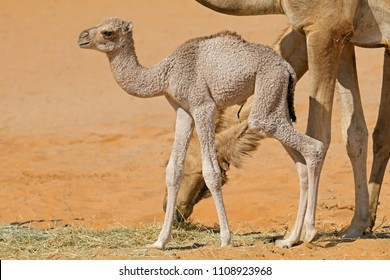 A newborn camel calf with its mother, Arabian Peninsula
