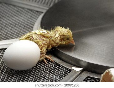 Newborn chick recently hatched in incubator, beside an unhatched white egg.