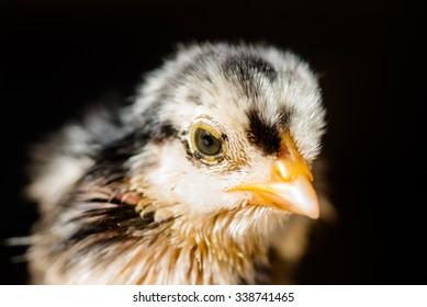 Newborn  chicken  head