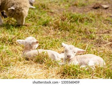 Newborn cute lambs resting in a field