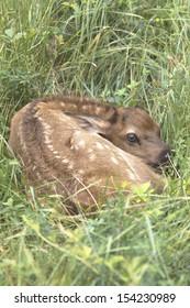 Newborn Elk Calf - Photo taken in Elk State Forest, Elk County, Benezette Pennsylvania